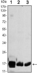 NBP1-51650 - COX IV isoform 1