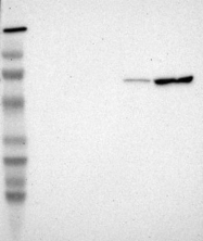 NBP1-85500 - Cyclooxygenase 1