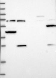 NBP1-88063 - Complex IV subunit III