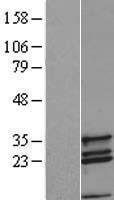 NBL1-09404 - COX11 Lysate