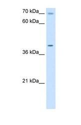 NBP1-59560 - COX15