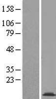 NBL1-09406 - COX16 Lysate