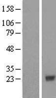 NBL1-09411 - COX4NB Lysate