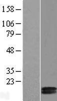 NBL1-09413 - COX5b Lysate