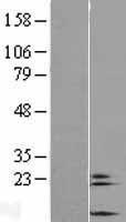 NBL1-09415 - COX6A2 Lysate