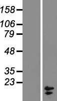 NBL1-09419 - COX7A2L Lysate