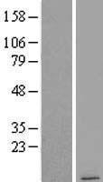 NBL1-09421 - COX7B2 Lysate