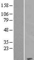 NBL1-09422 - COX7C Lysate
