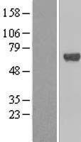 NBL1-16833 - CP2c Lysate