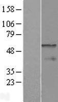 NBL1-09432 - CPEB1 Lysate