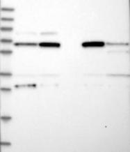 NBP1-81384 - CPEB4