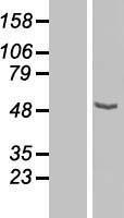 NBL1-09440 - CPN1 Lysate