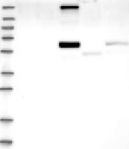 NBP1-85513 - Copine-4