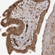 NBP1-86369 - Carboxypeptidase Z