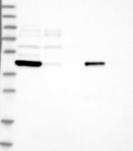 NBP1-85944 - Carboxypeptidase Z