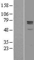 NBL1-09456 - CPZ Lysate