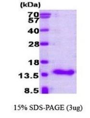 NBP1-30183 - CRABP1
