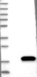 NBP1-85465 - CRABP2