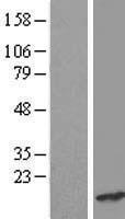 NBL1-15249 - CRCP Lysate