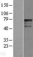 NBL1-09464 - CREB3L1 Lysate