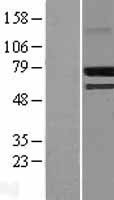 NBL1-09465 - CREB3L2 Lysate