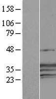 NBL1-09468 - CREG1 Lysate