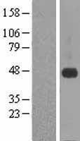 NBL1-09469 - CRELD1 Lysate