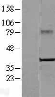 NBL1-09470 - CRELD2 Lysate