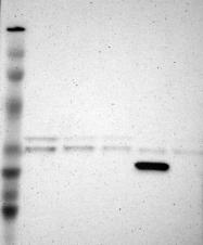 NBP1-81760 - CREM