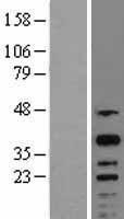 NBL1-09472 - CREM Lysate