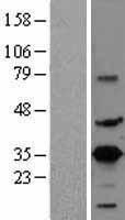 NBL1-09473 - CREM Lysate