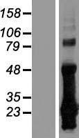 NBL1-09478 - CRIP2 Lysate
