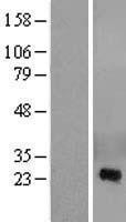 NBL1-09480 - CRISP2 Lysate