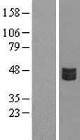 NBL1-09486 - CRLF3 Lysate