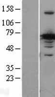 NBL1-09487 - CRMP1 Lysate