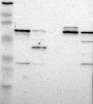 NBP1-85448 - DPYSL2 / CRMP2