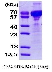 NBP1-41224 - Cornulin