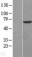 NBL1-09489 - CROT Lysate