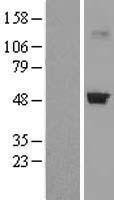 NBL1-09491 - CRTAP Lysate