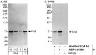 NBP1-41086 - Cryptochrome-2