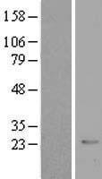 NBL1-09500 - CRYBB2 Lysate