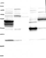 NBP1-93718 - Lambda-crystallin homolog