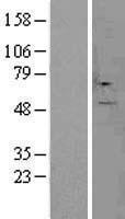 NBL1-09507 - CSAD Lysate