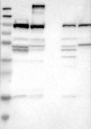 NBP1-85341 - UNR protein / CSDE1