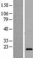 NBL1-09523 - CSH2 Lysate