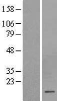NBL1-09524 - CSHL1 Lysate
