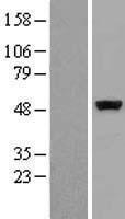 NBL1-09525 - CSK Lysate