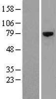 NBL1-10470 - CSRNP3 Lysate