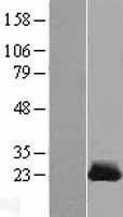 NBL1-09539 - CSRP1 Lysate