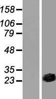 NBL1-09543 - CSRP3 Lysate